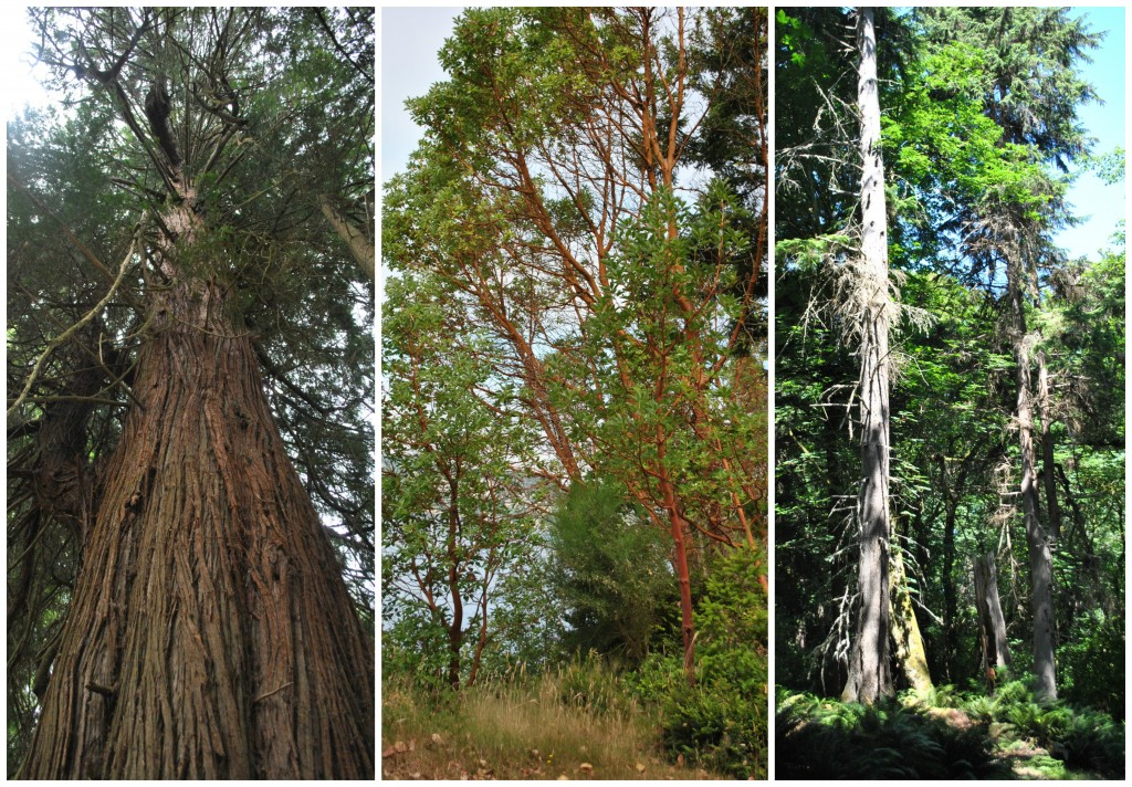 An old cedar (left); A small stand of madrone by the water (center); Leaving dead trees like this provides essential habitat for wildlife (right)