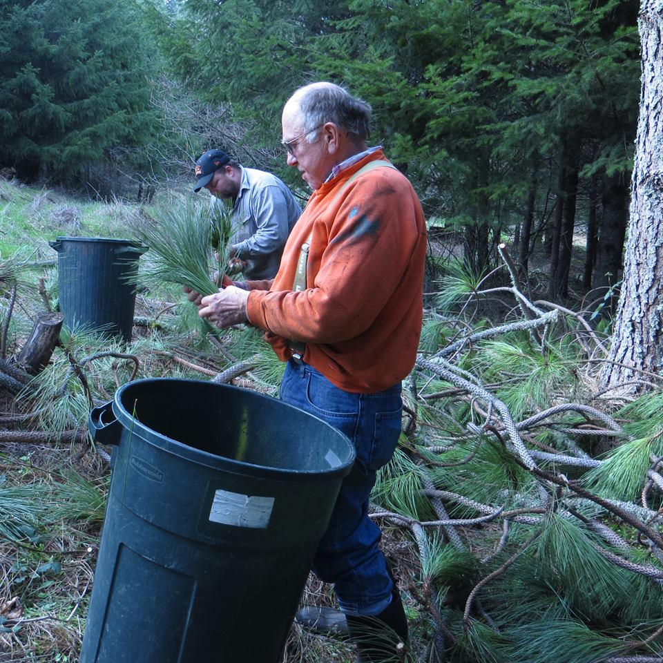 Jim and his colleague collect Ponderosa pine boughs from a pruning project. The boughs will be distilled into essential oil. Photo courtesy of Oregon Woodland Cooperative.