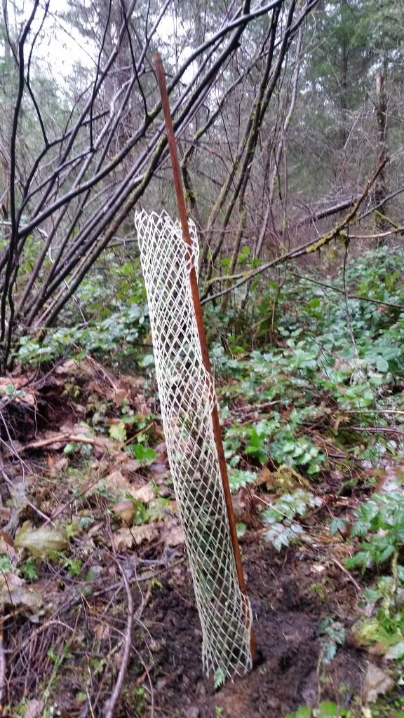 Cedar in a protective cage. The forest is home to lots of elk and deer: where the cages were removed, the cedar had been browsed.