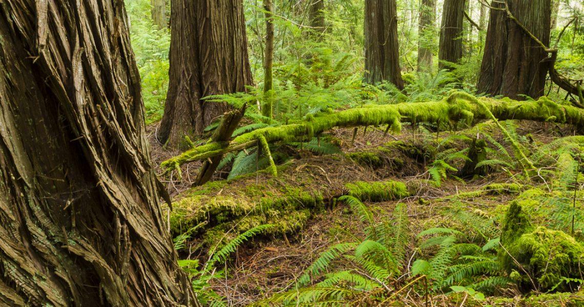 Cedar Grove, Tarboo Forest_Keith Lazelle (1)