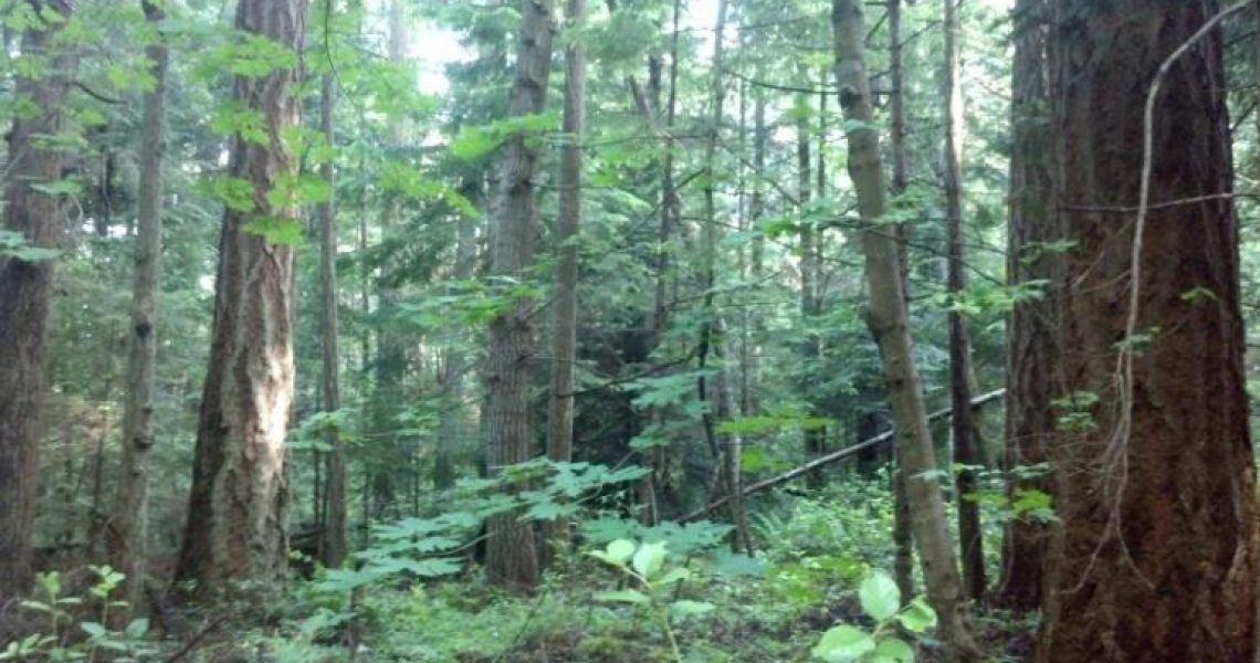 nootka-forest-pic.jpg